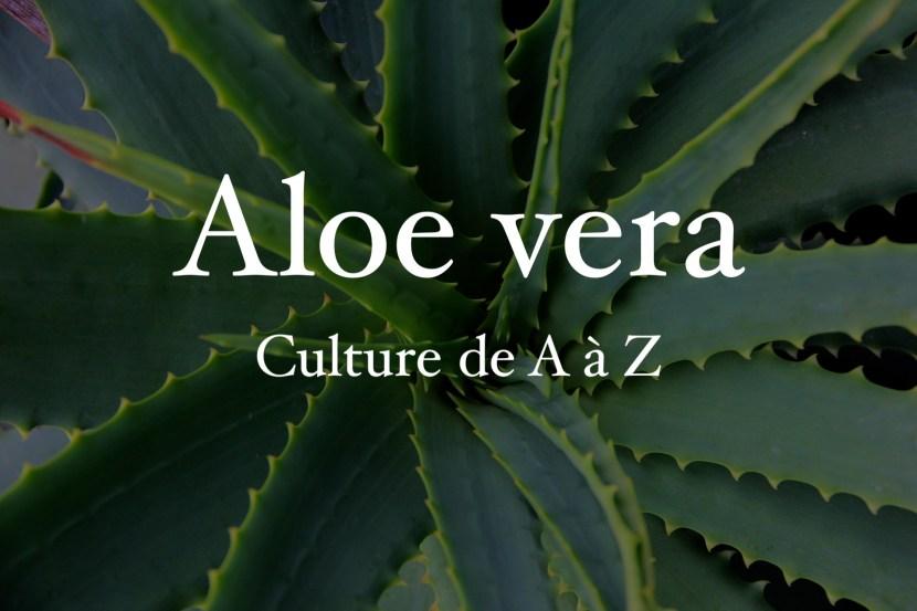 culture aloe vera