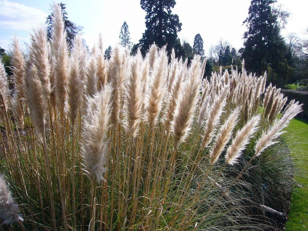 Cortaderia is an ornamental but invasive plant