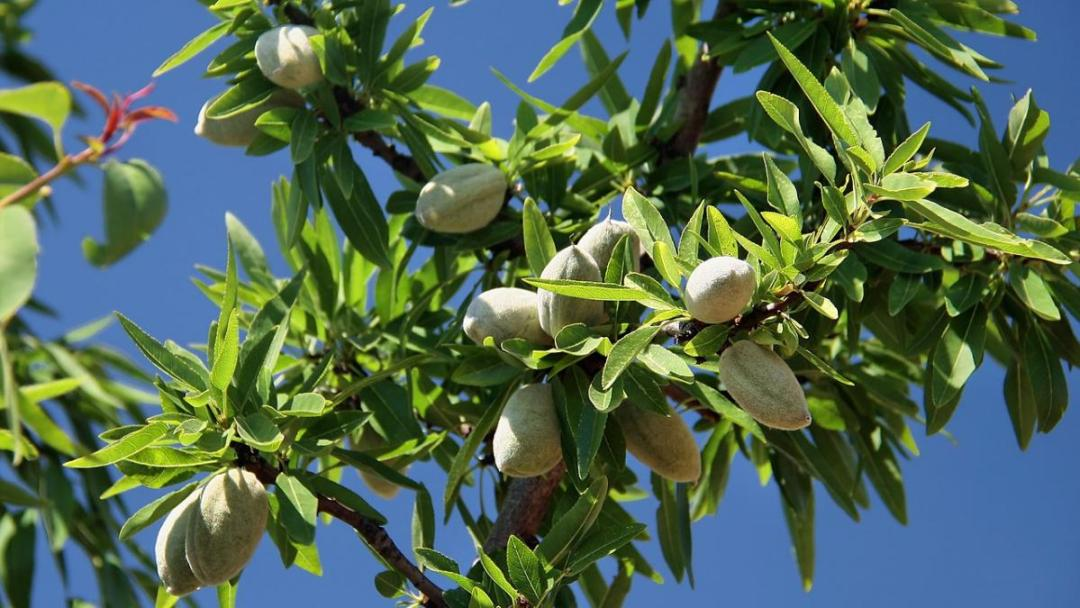 The almond tree is a fruit tree for limestone soils