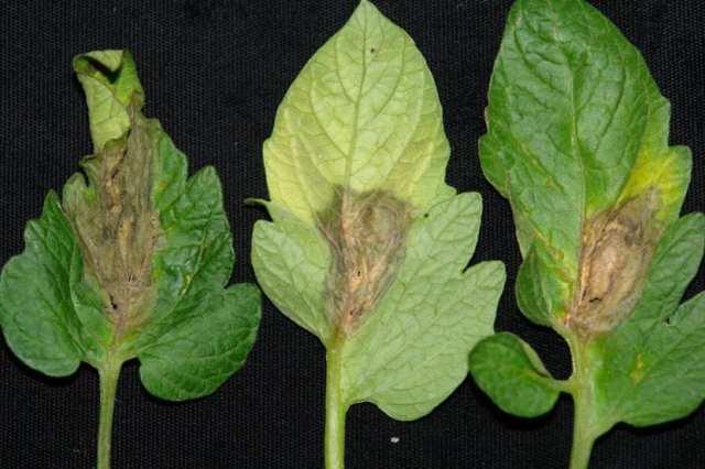 Daños en hojas por el hongo Botritis