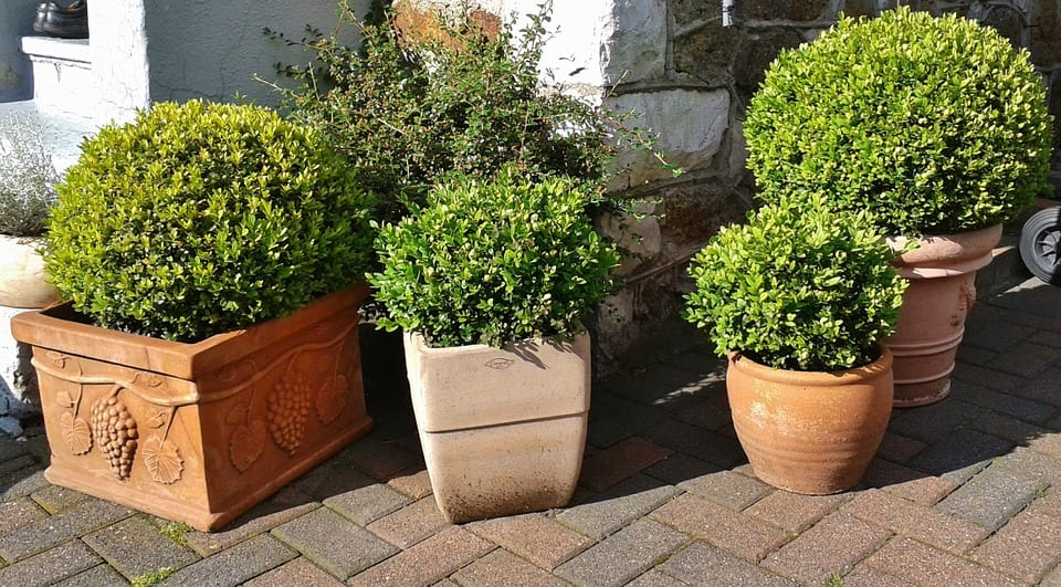 Potted buxus