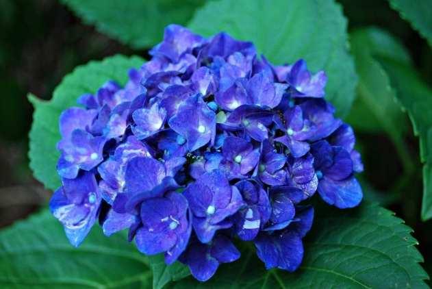 Cómo conseguir hortensias azules
