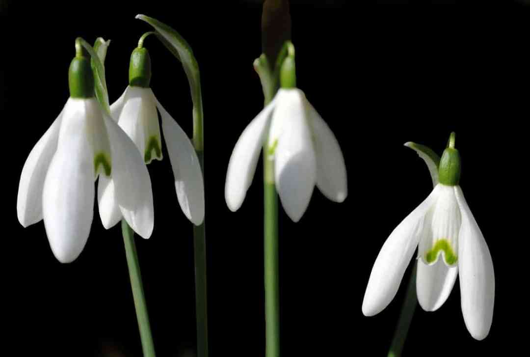 Galanthus are sown in winter