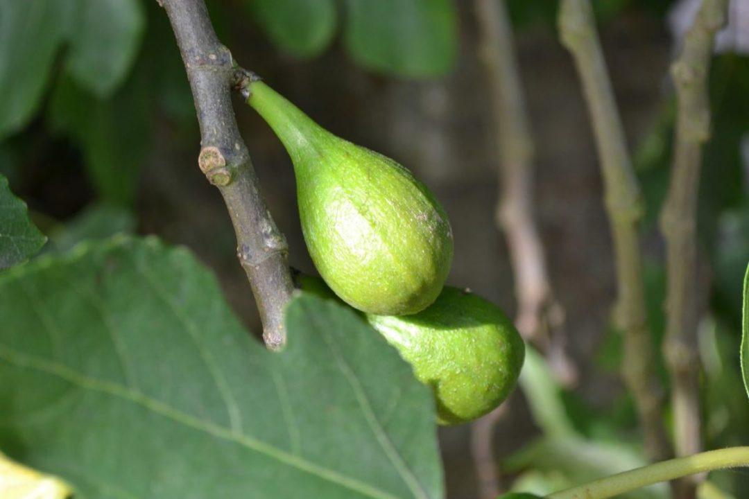 The fig tree bears edible fruits when grown in limestone soils