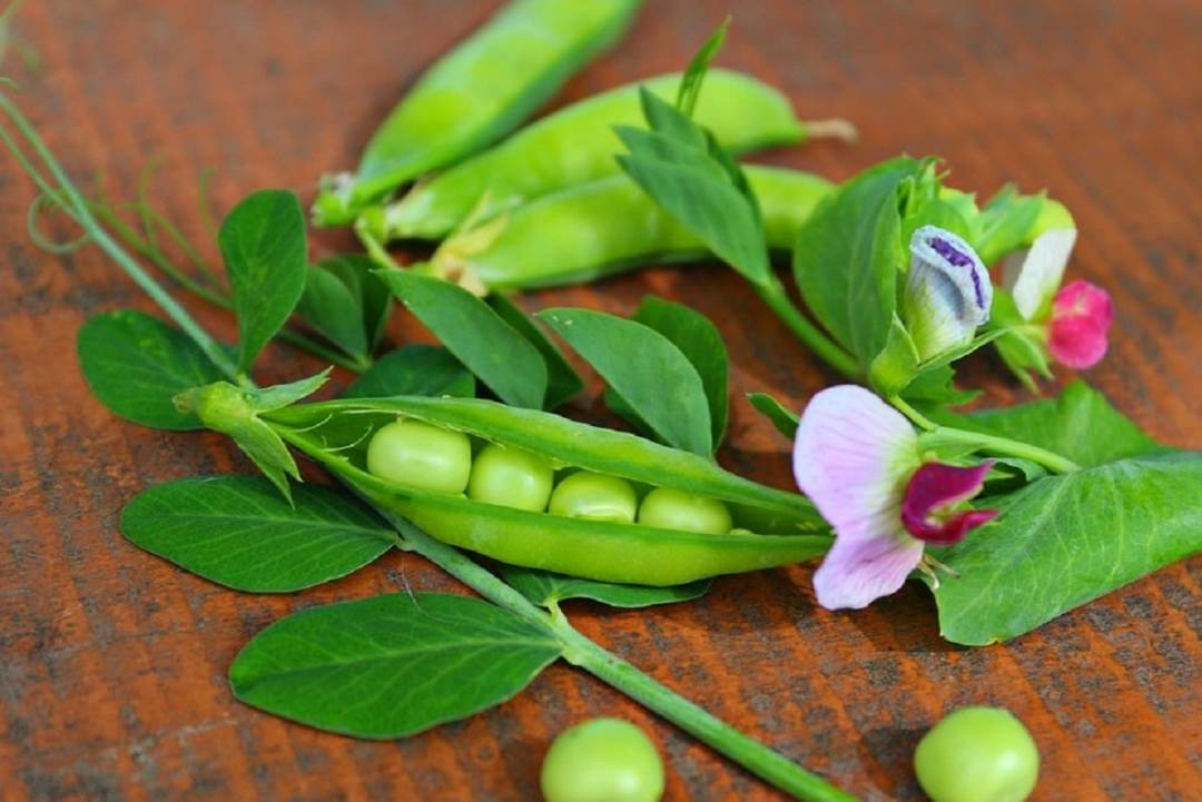 Peas are leguminous plants
