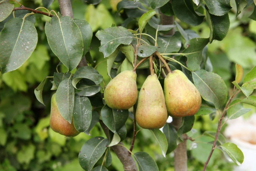 The pear tree is one of the best fruit trees for limestone soils
