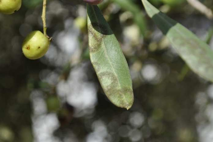 El repilo es la enfermedad más severa que puede presentar un olivo