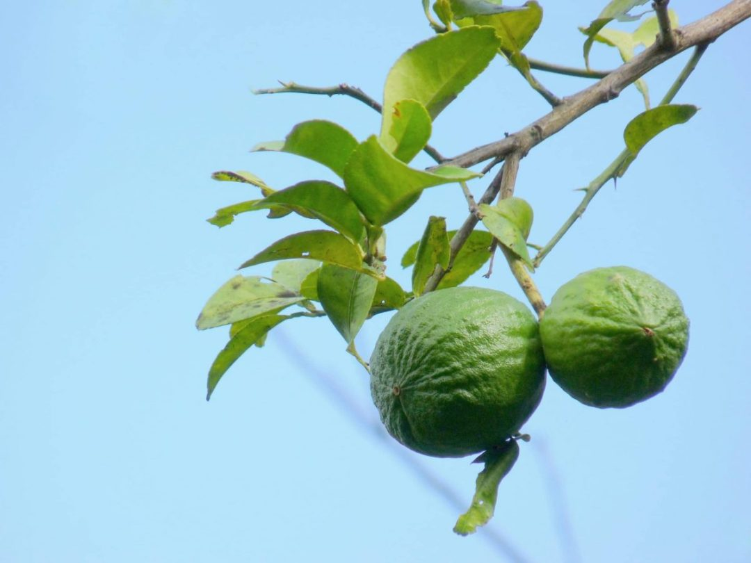 The lime is a tree that grows in limestone soils