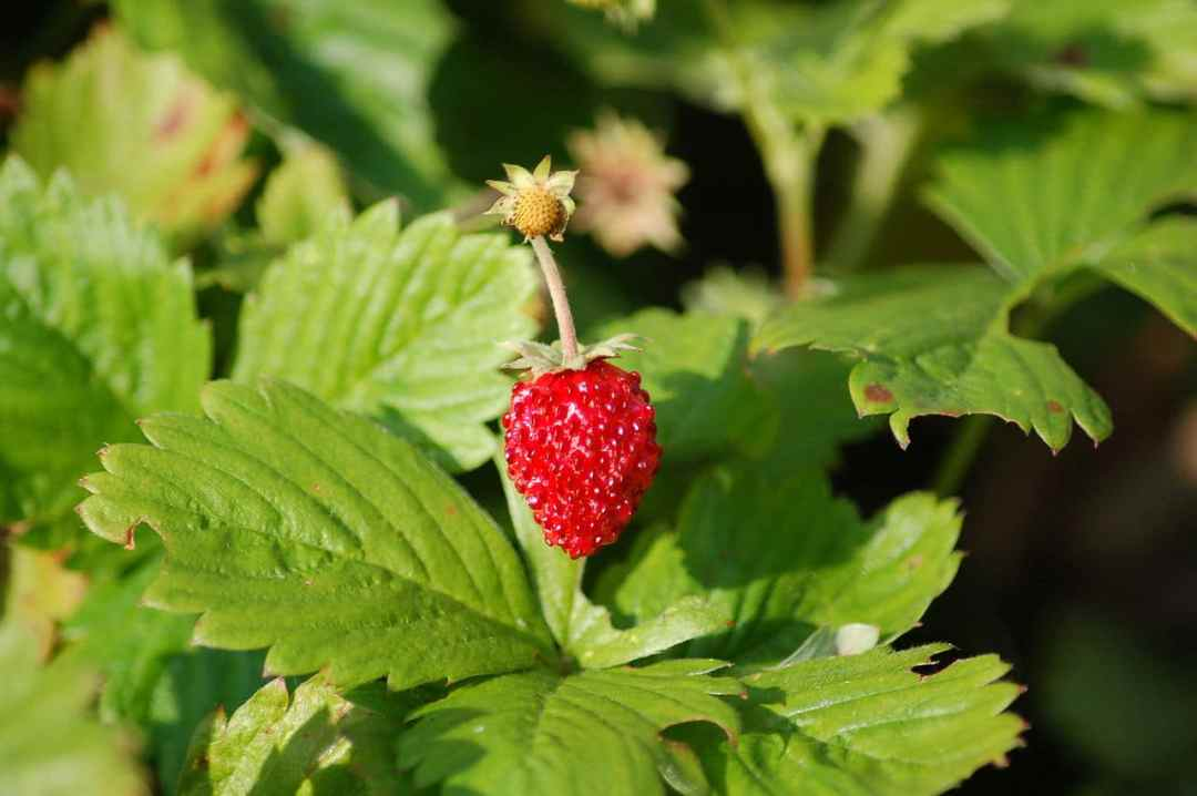 The strawberry plant is small, and edible