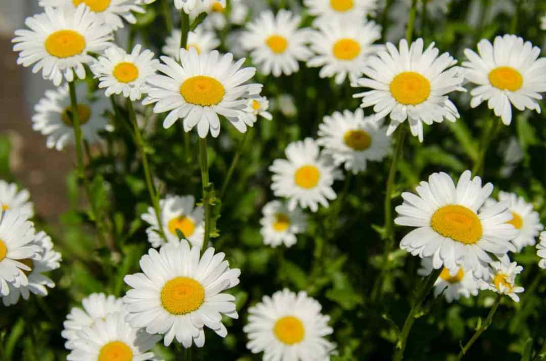 Daisies are fast growing herbs
