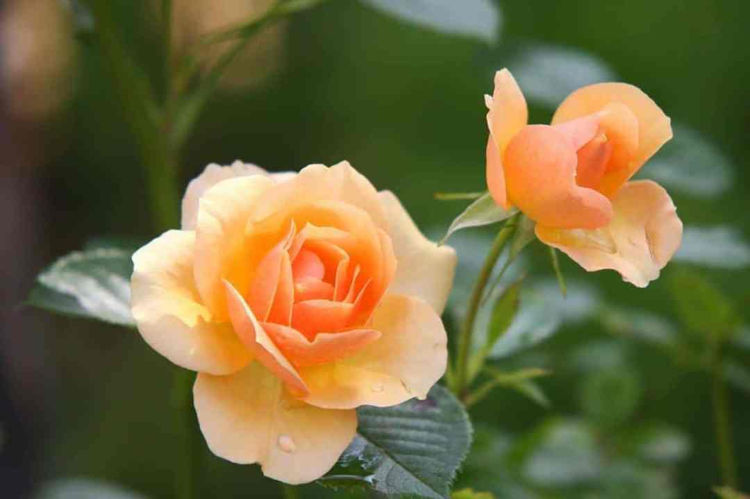 The rose bushes can be fertilized in a pot