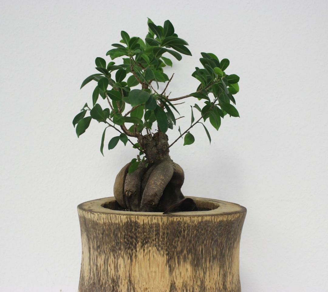 How to water a Ficus ginseng bonsai?