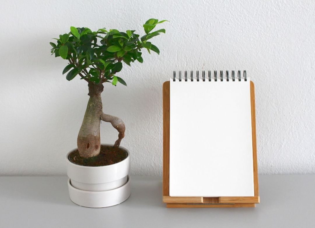 How to care for a Ficus ginseng bonsai?