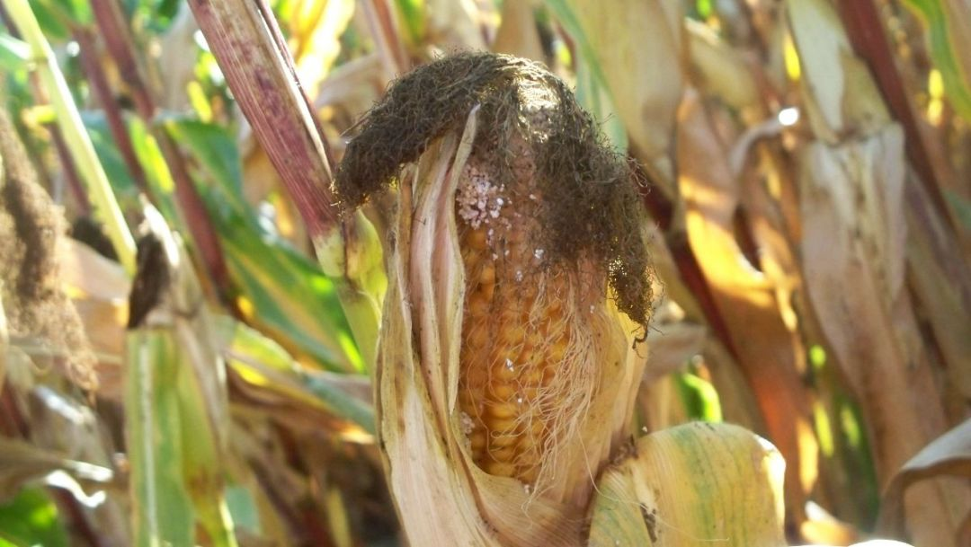 What symptoms and damages does Ostrinia nubilalis produce?