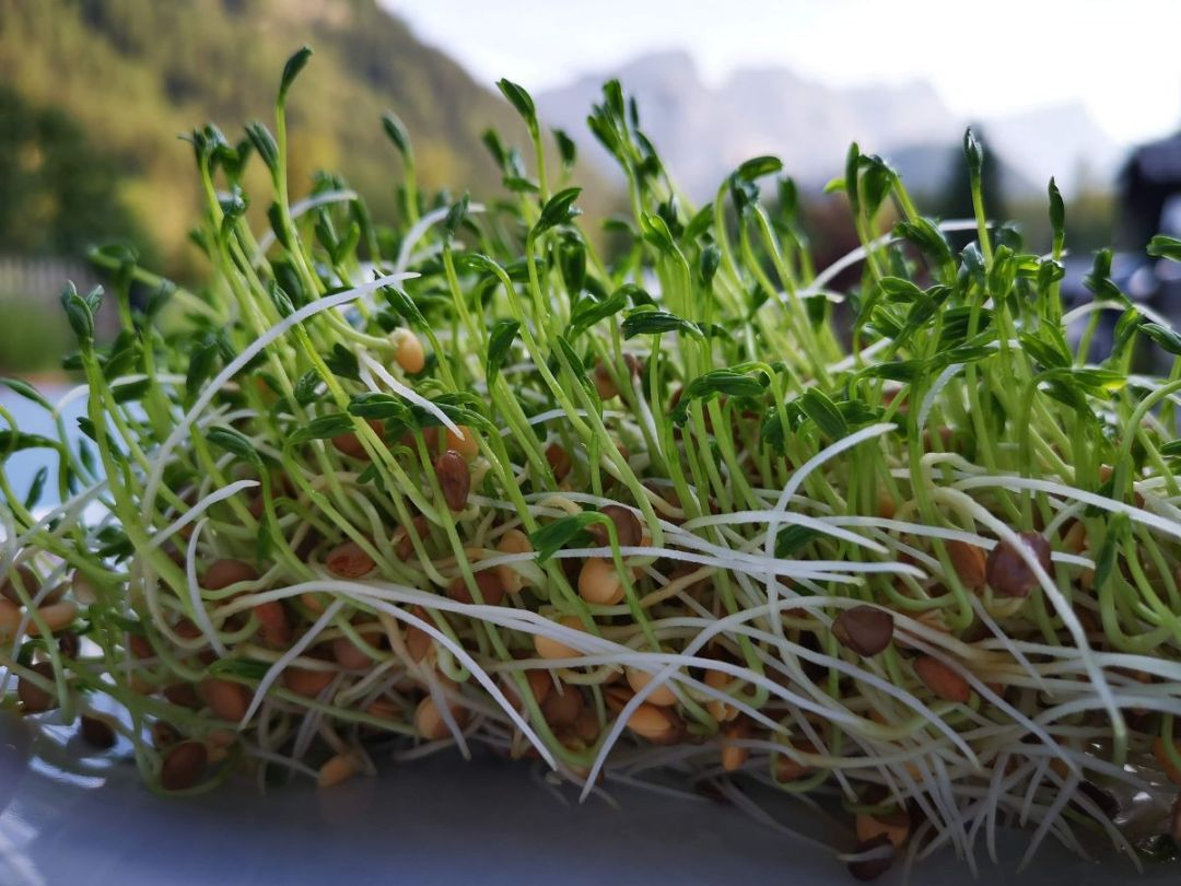 How to sow sprouted lentils?