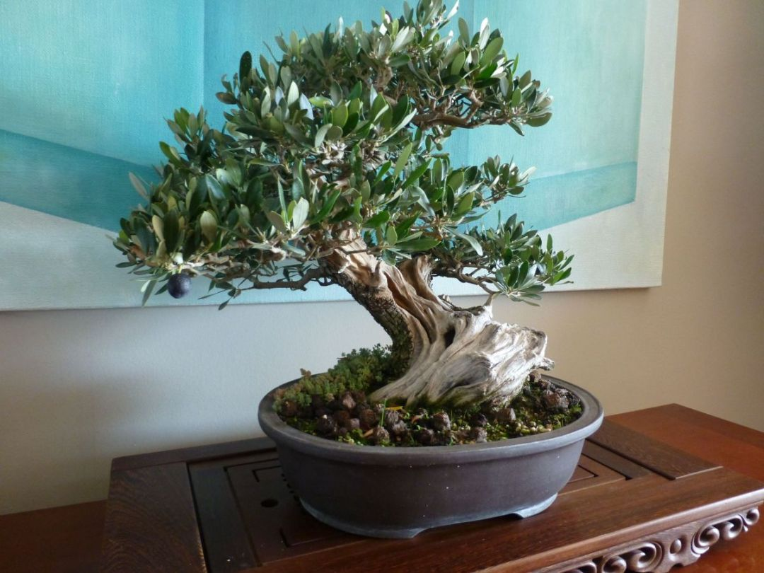 How to water an olive bonsai?