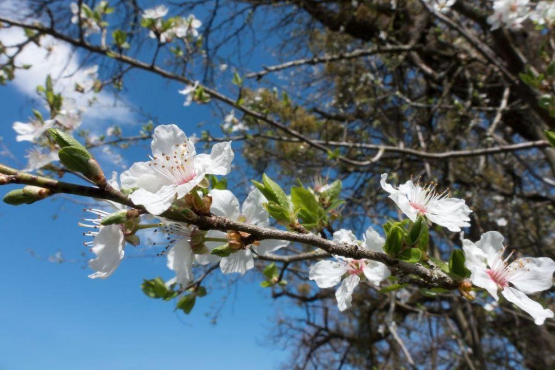 Plum blossoms are white