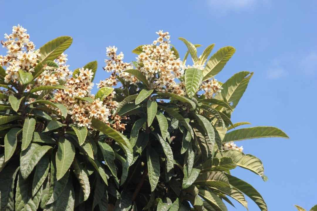 The flowers of the medlar are white