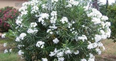 Laurier rose à fleur simple: Soeur Agnès , fleurs blanches