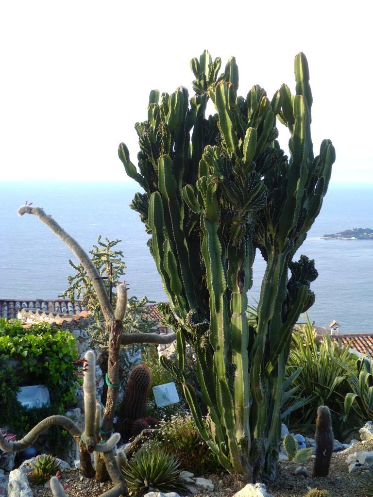 Jardin Exotique dze  Euphorbia candelabrum