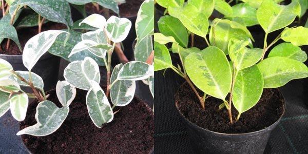 Ficus benjamina  bouture  ltouffe