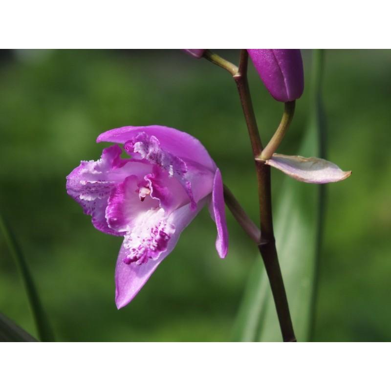 Orchide de jardin  Orchide vivace  Bletilla Striata