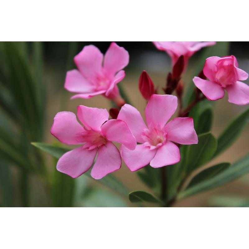 Nerium - Rose laurel - Nerium Oleander Atlas