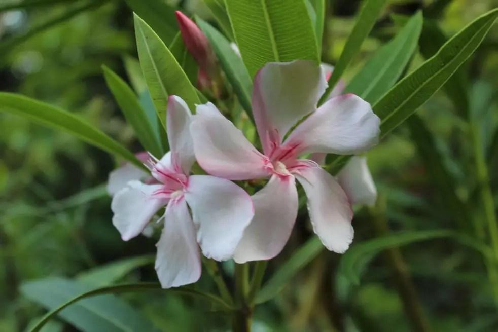 Nerium - Rose laurel Virginie - Nerium oleander Virginie.