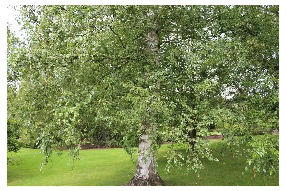bouleau blanc betula pendula
