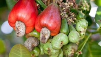 planter une noix fraiche