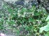 euphorbia-diamond-frost_2