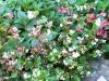 Begonia nain compact