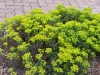 Euphorbia cyparissias f. rubrifolia