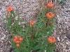 Euphorbia griffithii \'Fireglow\'