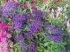 Heliotropium arborescens \'Blue Wonder\'