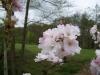 Prunus serrula
