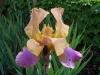 Iris 'Lioness'