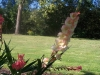 Gladiolus 'Pink Soledo'