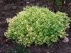 Artemisia 'Limelight'