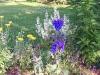 Delphinium 'Finsteraarhorn'