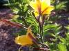 Hemerocallis 'Golden Chimes'