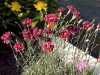 Dianthus 'Laced Monarch'