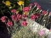 Dianthus 'Laced Monarch'