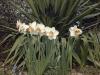Narcissus 'Romance'