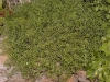 Satureja montana 'Prostata'