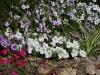 Petunia 'Tumbellina Melissa blanc'