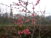 Chaenomeles japonica rose