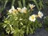 Alstroemeria 'Princess Lilies'