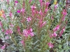 Gaura 'Red Color'