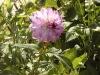 Dahlia 'Lilac Shadow'